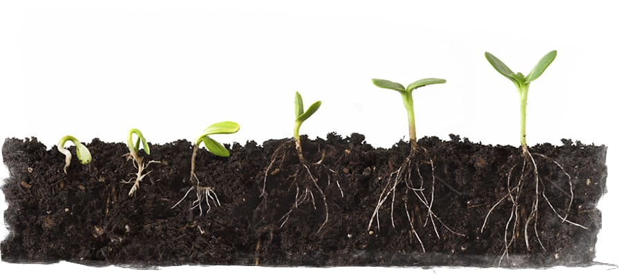 Cutaway sequence of a plant growing in dirt, roots showing, against a white background.